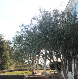 Silent Meditation Retreat Center in Northern California, accessible from San Francisco, Sacramento and Los Angeles olive trees photo
