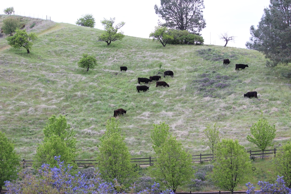 Silent Meditation Retreat Center in Northern California, accessible from San Francisco, Sacramento and Los Angeles culinary cattle grazing photo